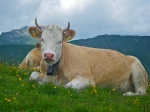 cow in Simmental valley