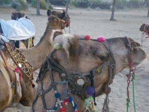 tasselled camels