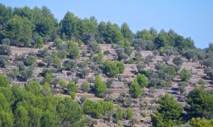 Terraced olive cultivation